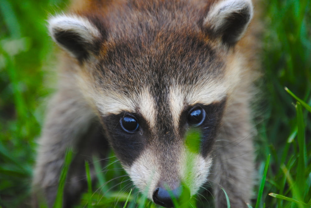 close-up photography of raccoon on green grass