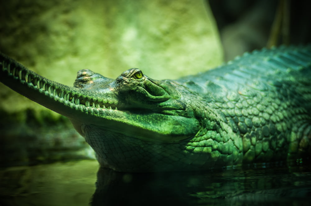 closeup photo of green and gray alligator in body of water