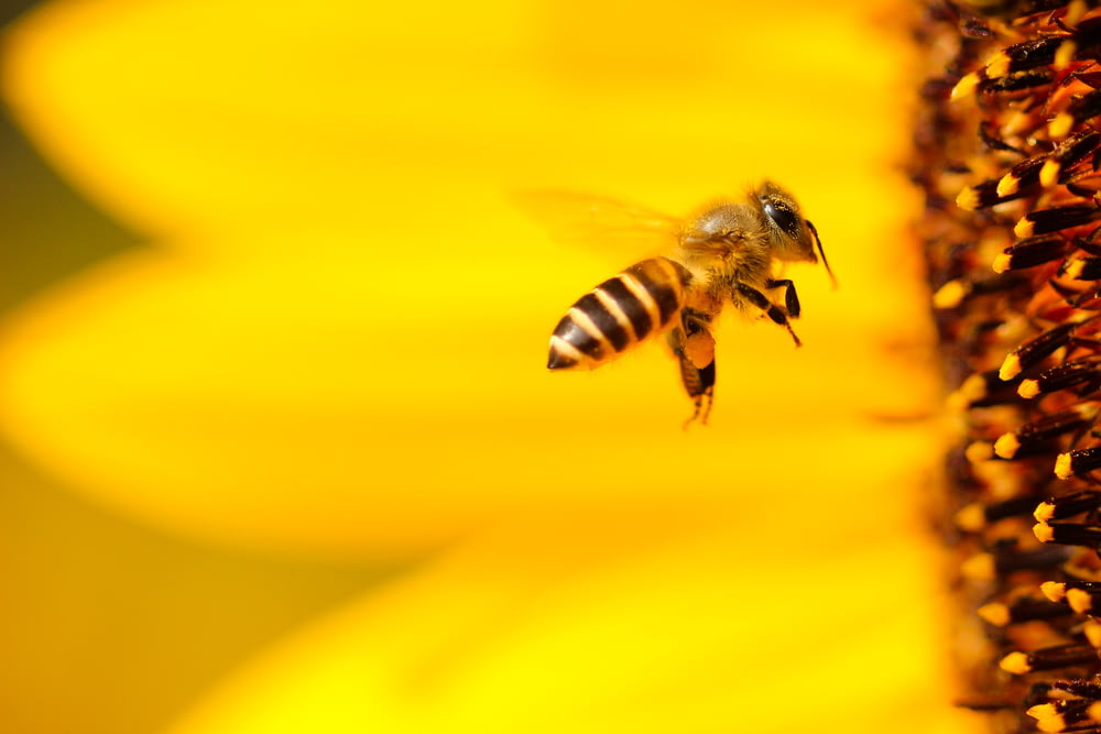 black and white honey bee hovering near yellow flower in closeup photography