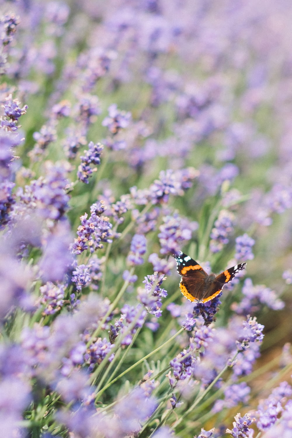 brown, black, and white butterfly on purple petaled flower photo