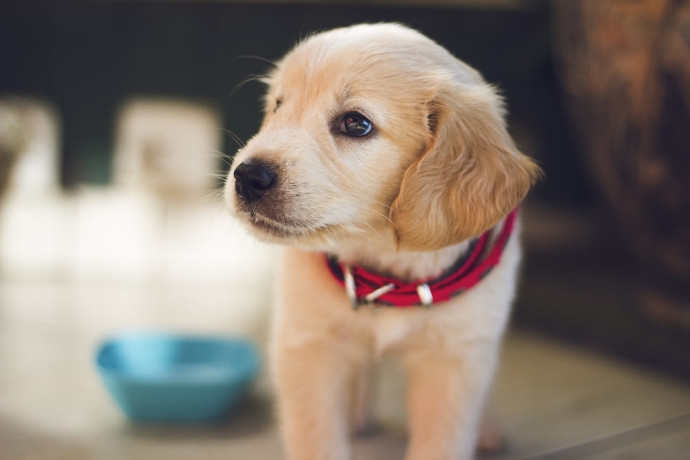 selective focus photography of short-coated brown puppy facing right side