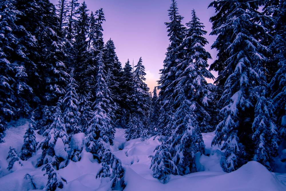 photo of snow-covered tall green leafed trees