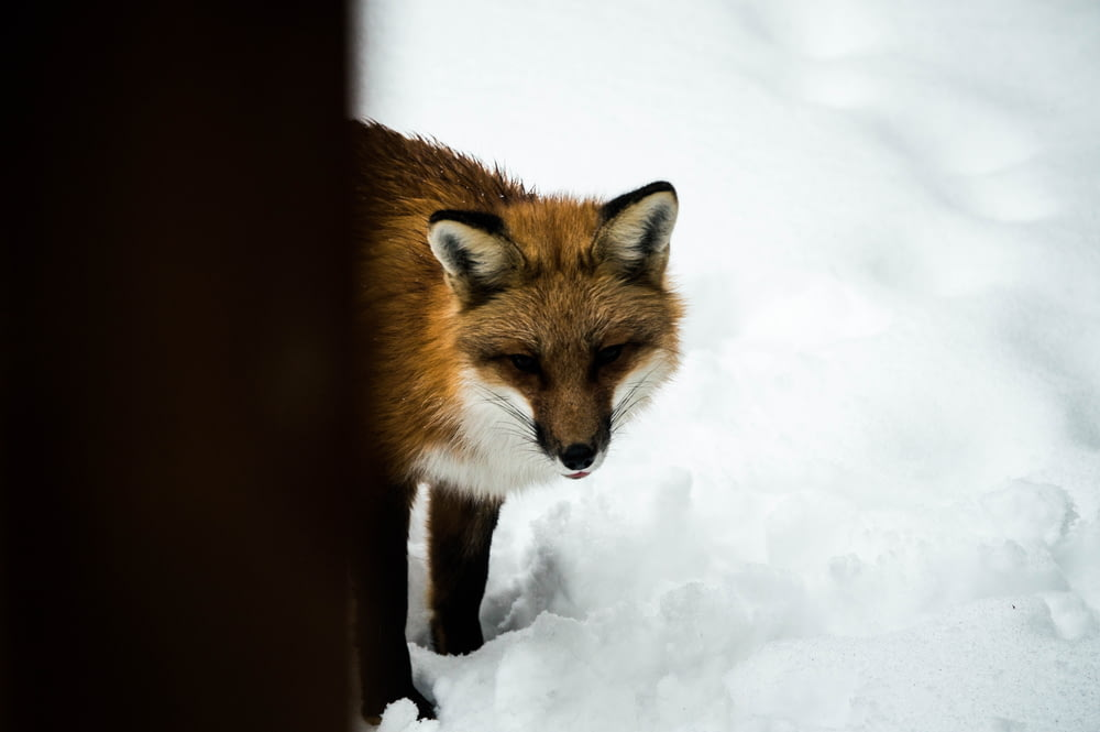 orange fox standing on snow during daytime