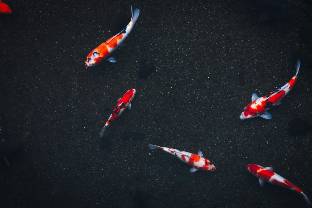 five koy fishes