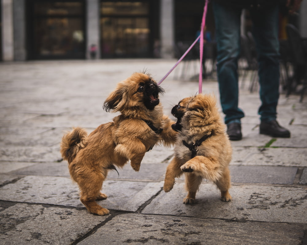 two brown puppies playing on ground