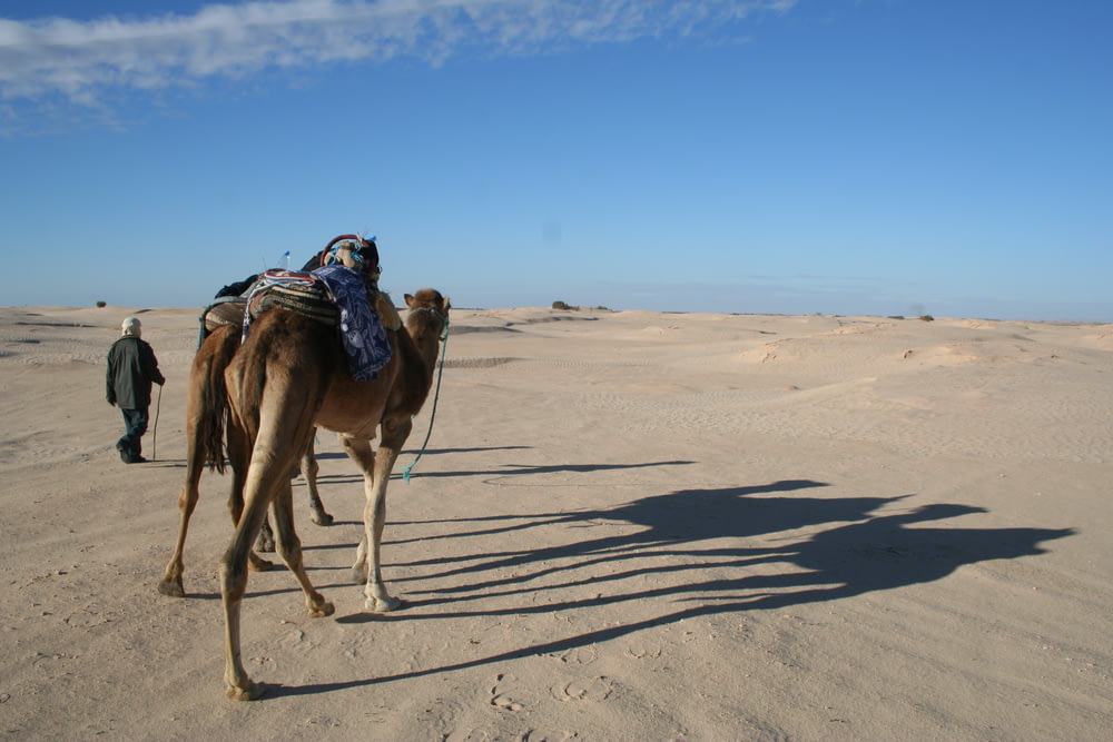 two camels walking near person with cane on desert