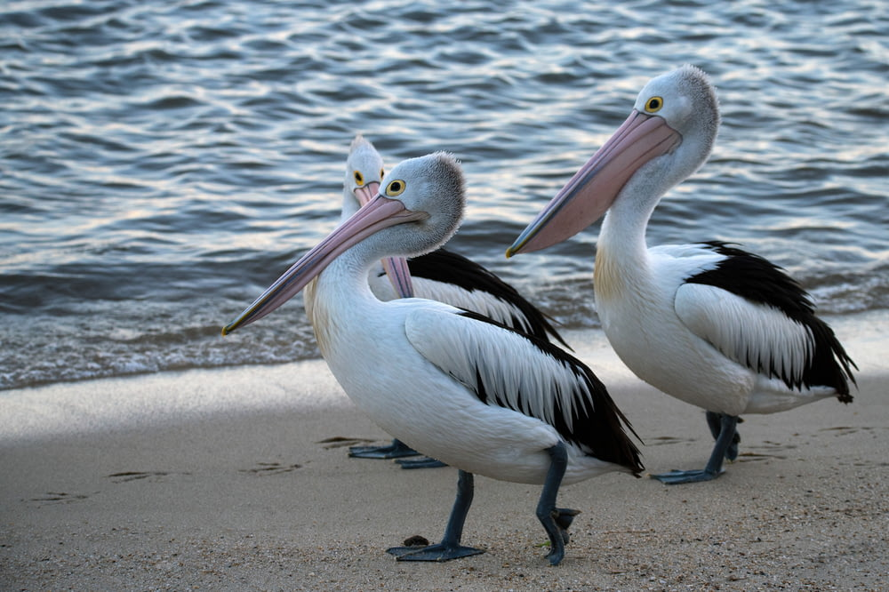 three white pelicans on shore