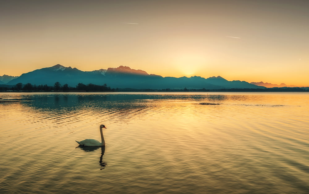 swan on body of water during golden hour
