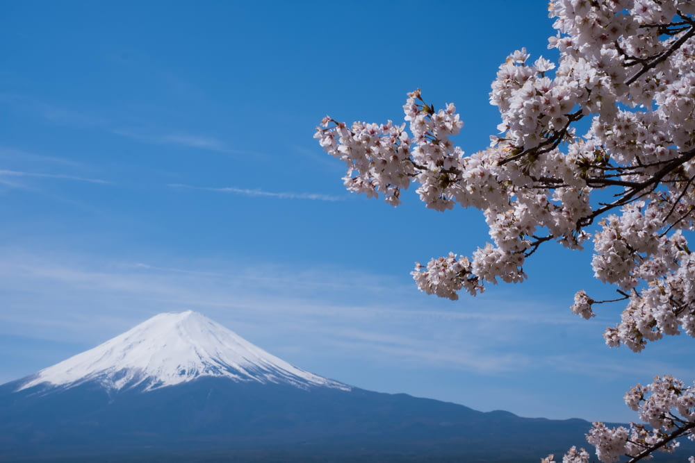 cherry blossom distance with Mount Fuji, Japan