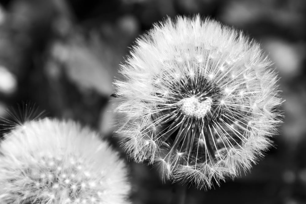 grayscale photo of dandelion flower