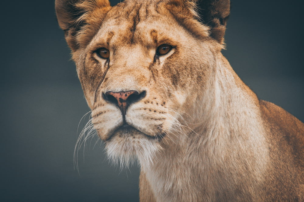 closeup photo of lioness
