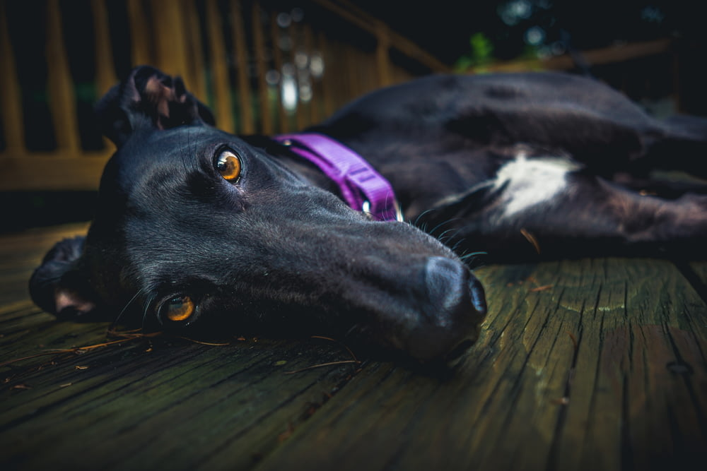 short-coated black dog lying on brown wooden surface