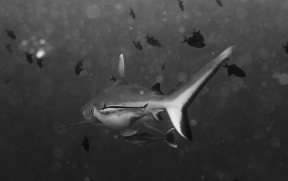 grayscale photography of shark