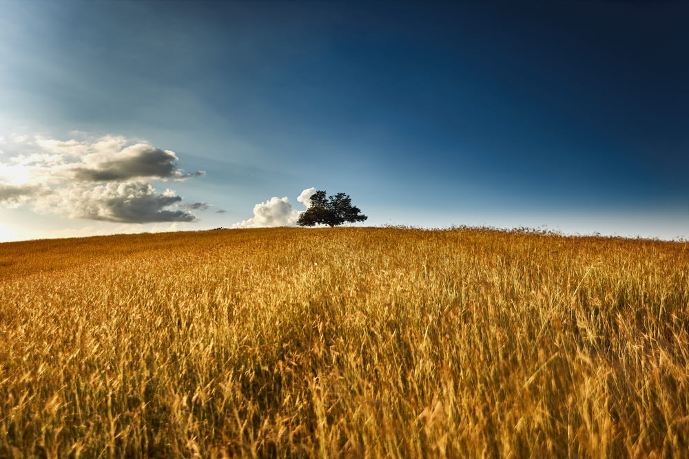 wheat field at daytime