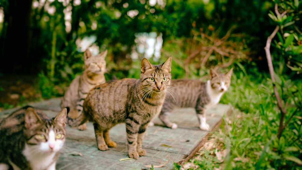 four brown cats