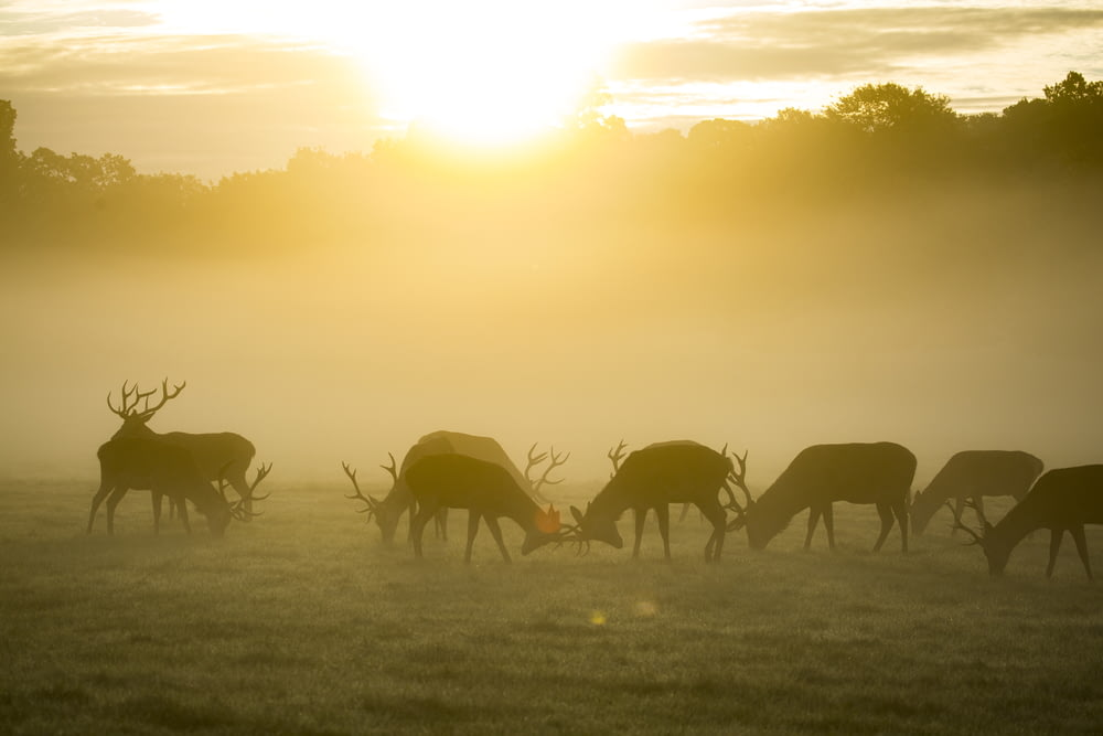 silhouette of group of deer during golden hour