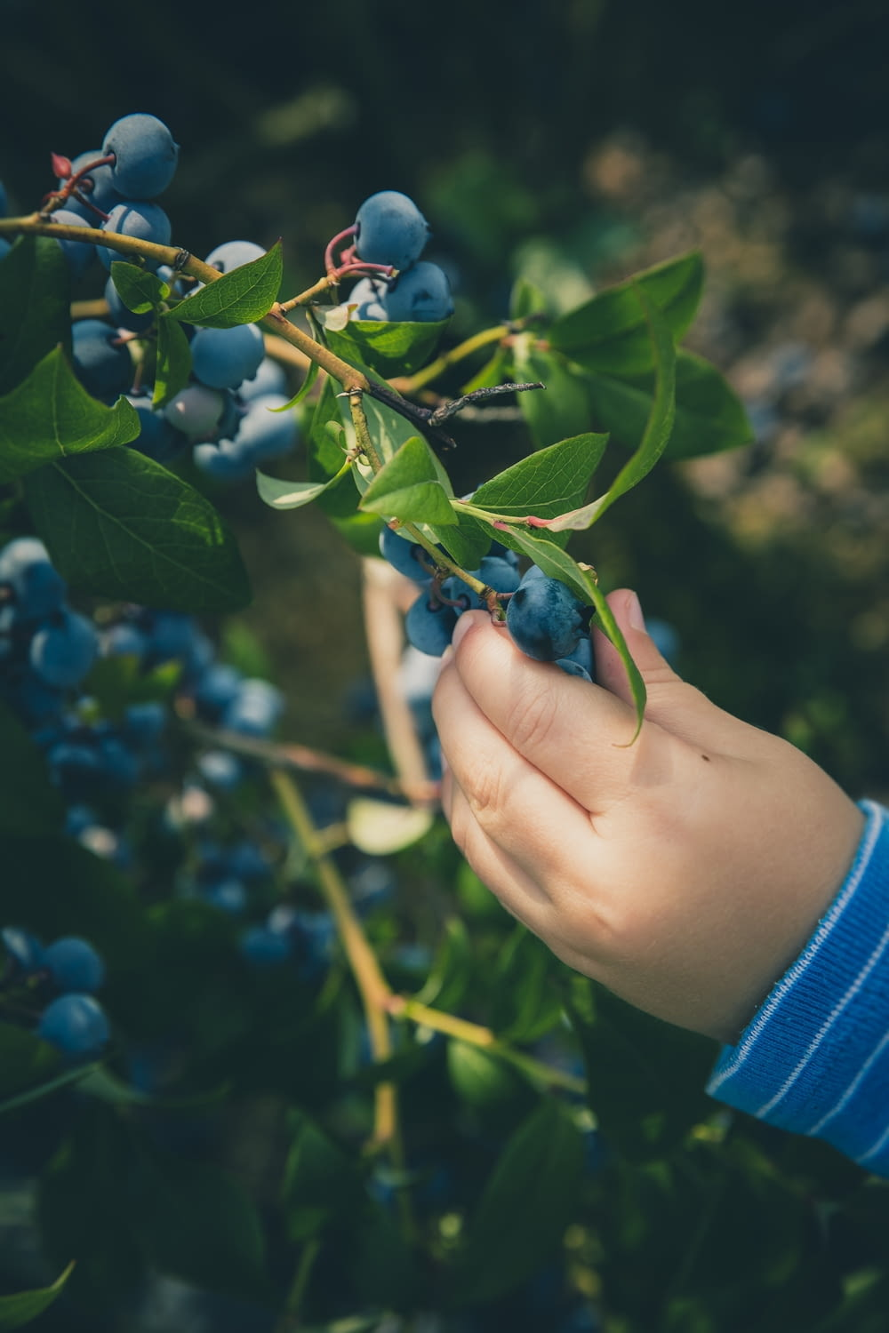 person holding blue berry