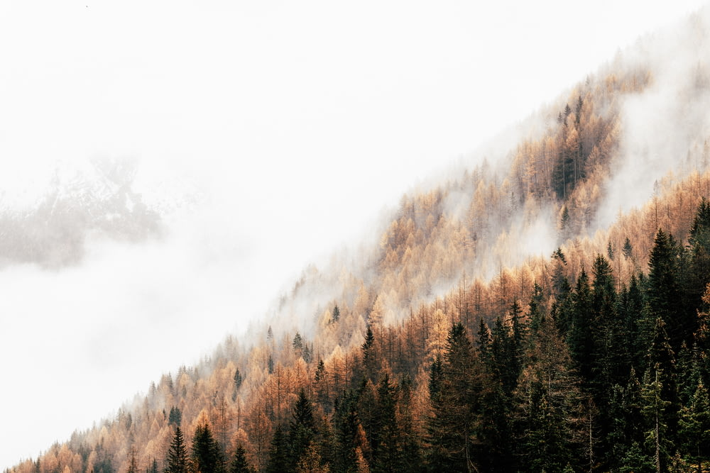 pine trees with fog
