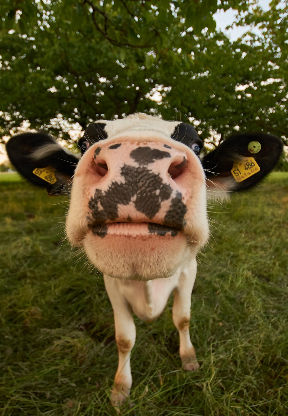 white and black cow
