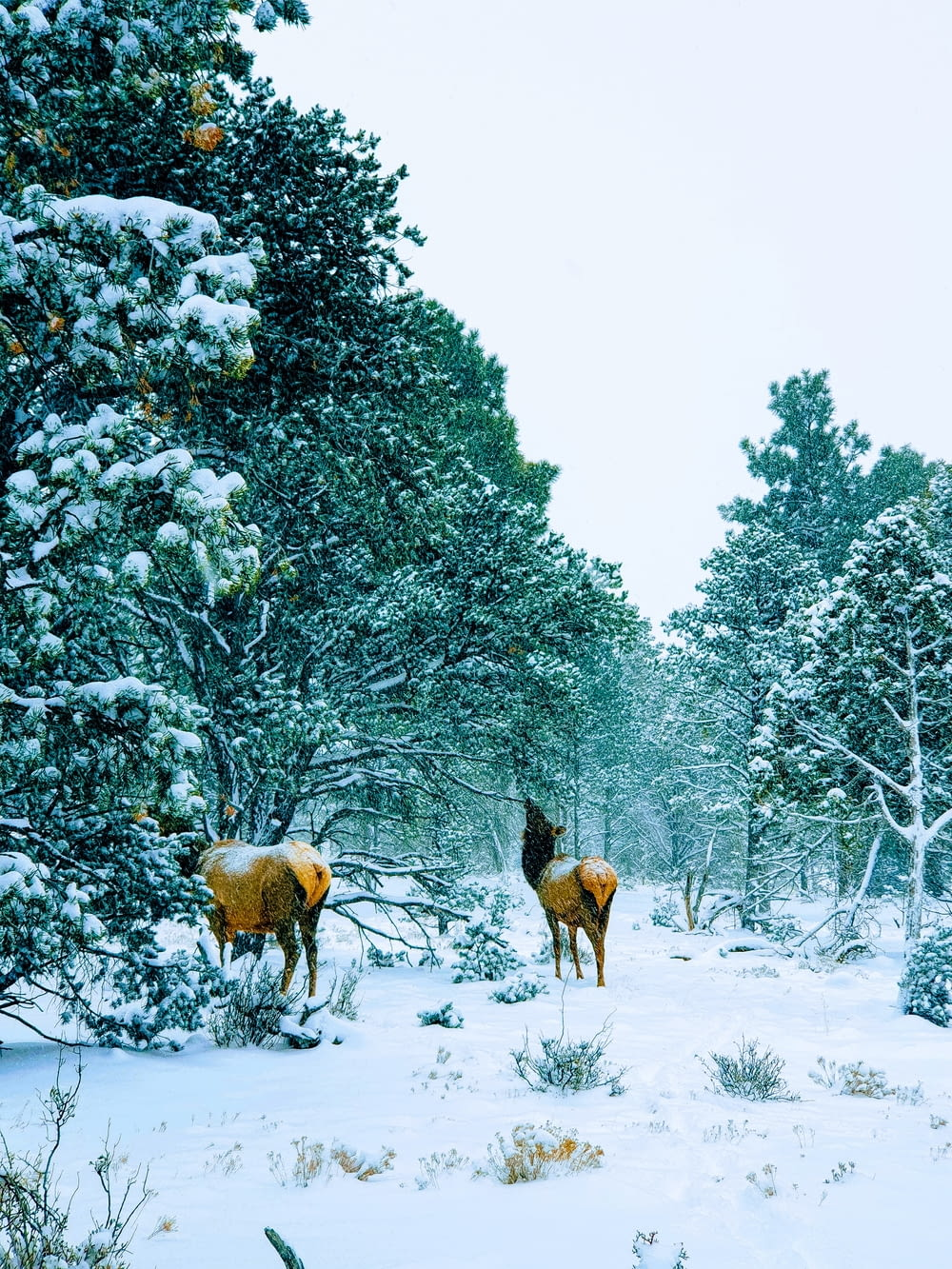 two deer beside trees covered with sno