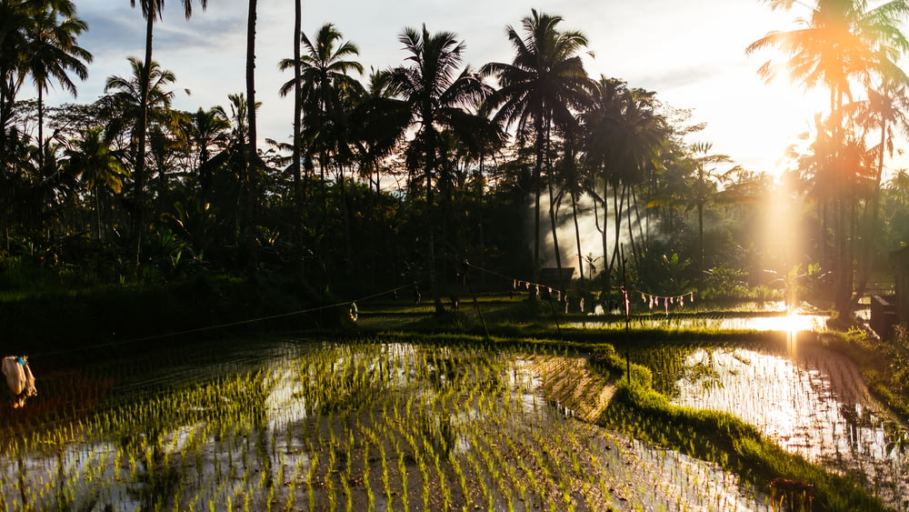 rice field and Coconut trees