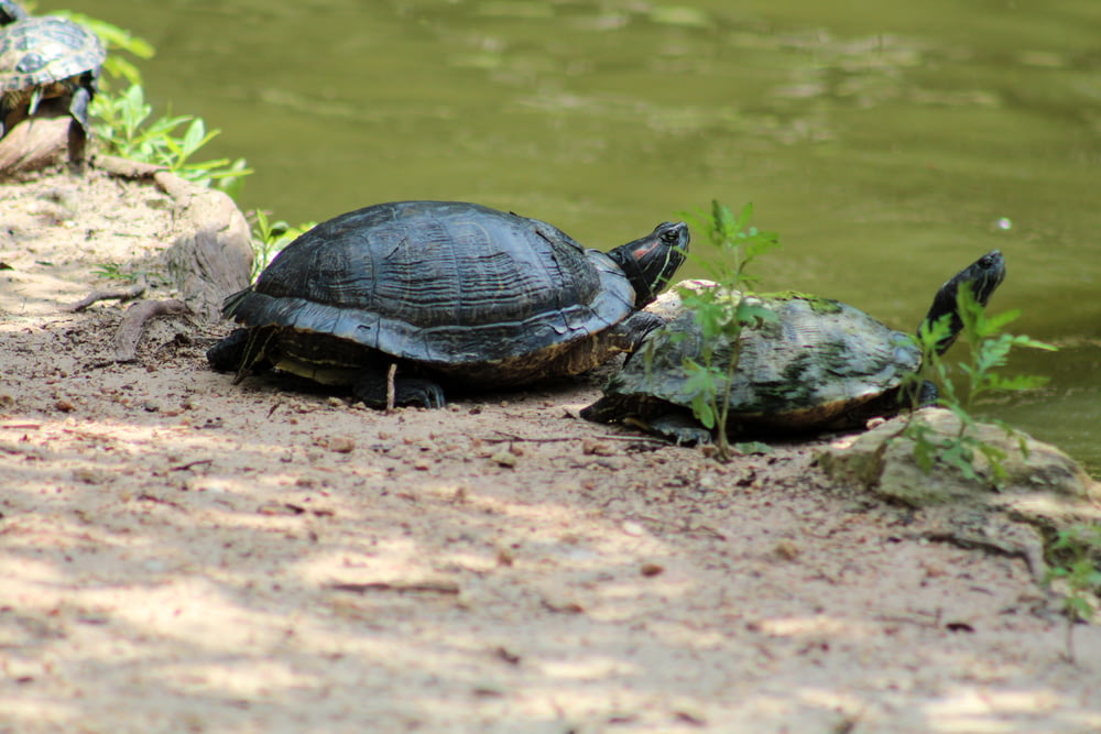 two brown turtles near pond