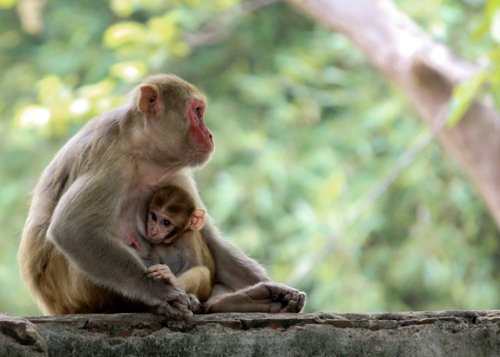 monkey with young sitting down