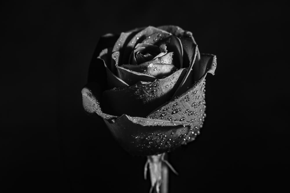 grayscale photo of rose flower