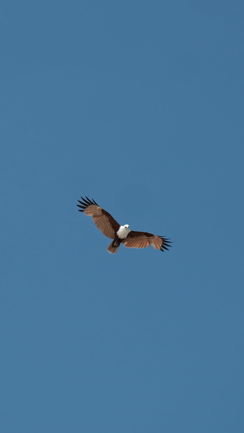 brown eagle on mid air