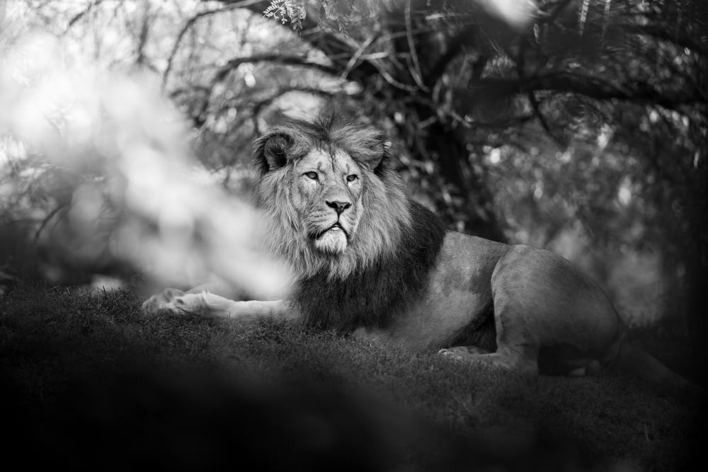 grayscale photography of male lion
