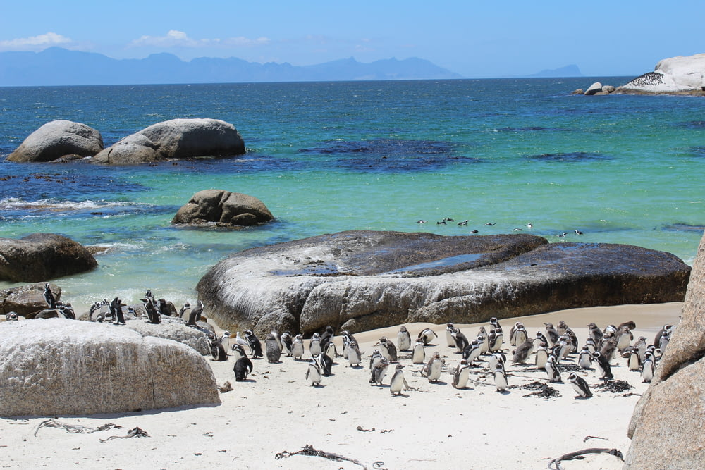 group of penguins near body of water