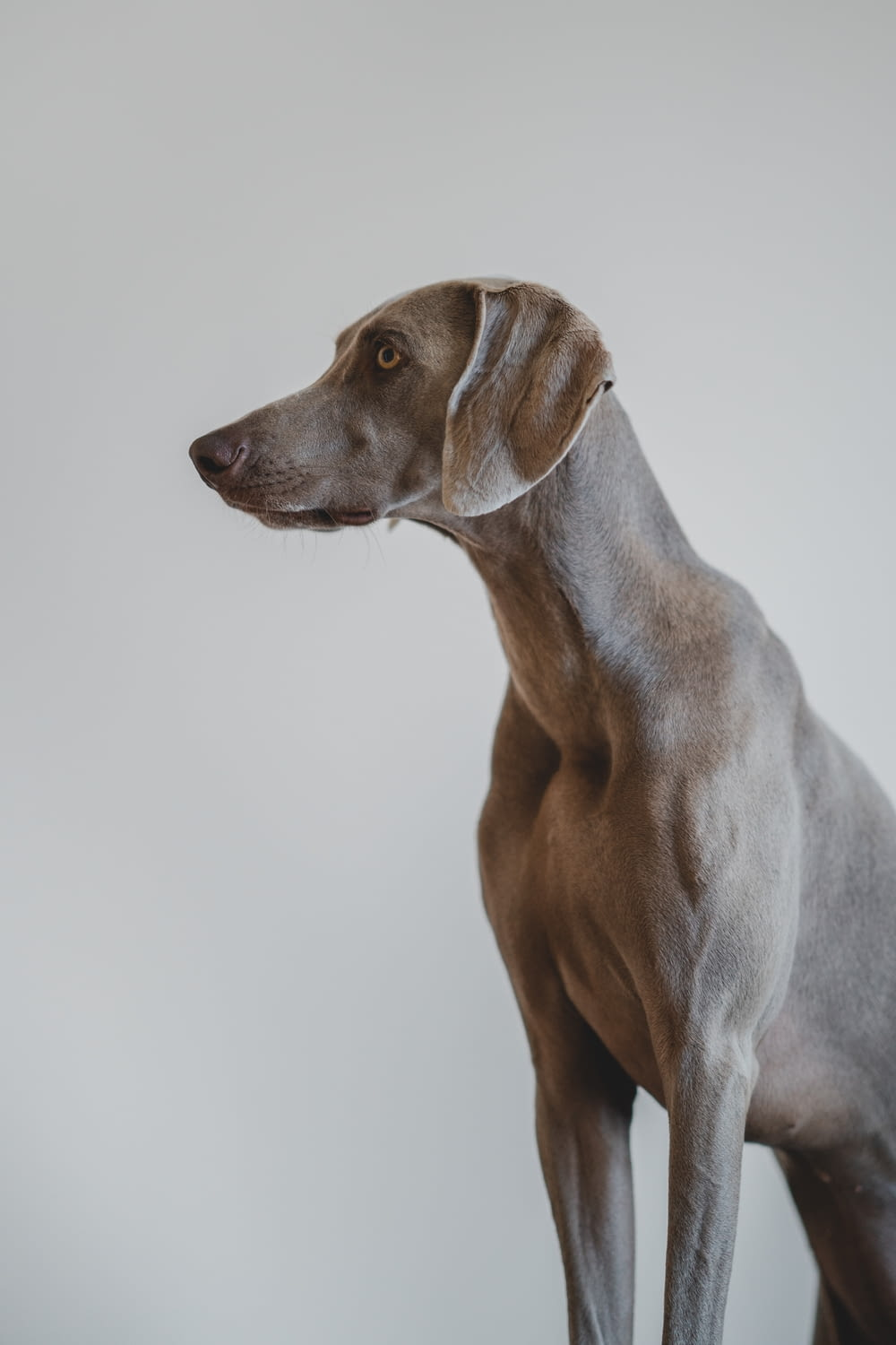 short-coated gray dog