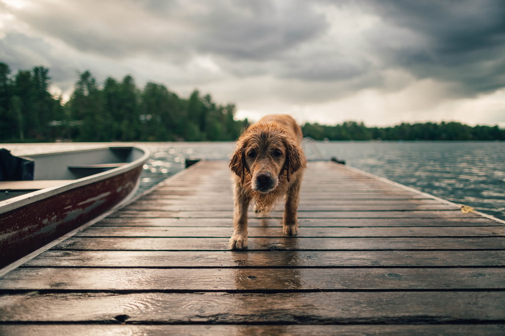 shallow focus photo of long-coated brown dog on dock