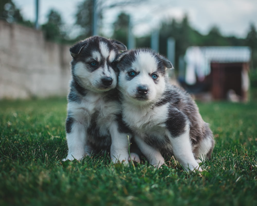 two Siberian husky puppies sitting on green grass