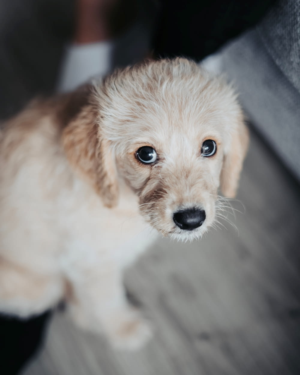 tan toy poodle puppy