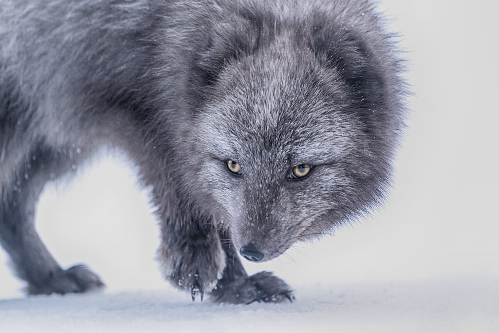 gray wolf on snow covered ground