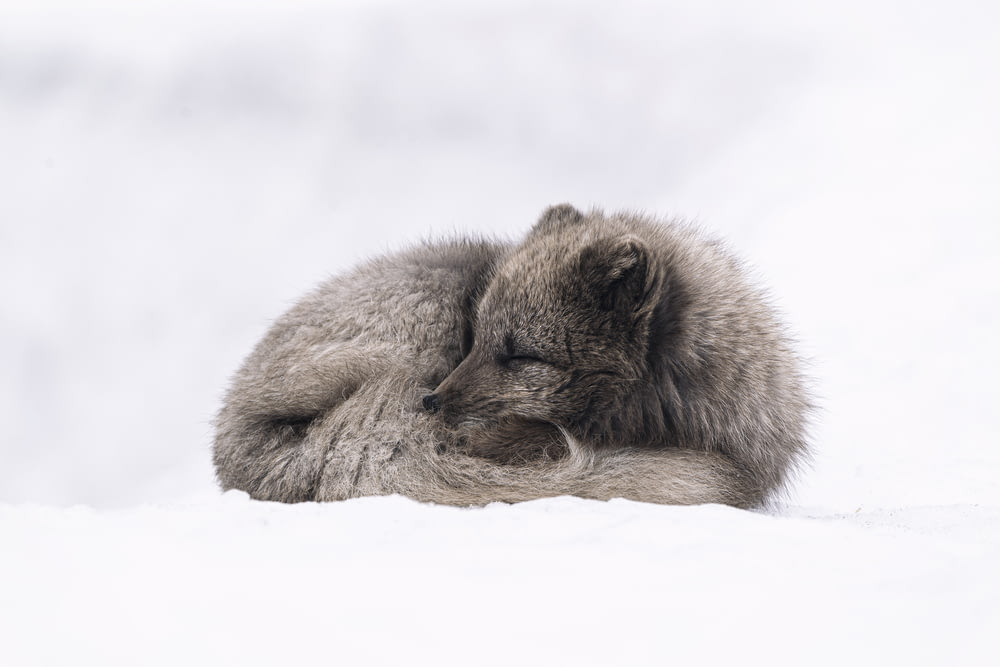 white and gray fox lying on snow covered ground during daytime