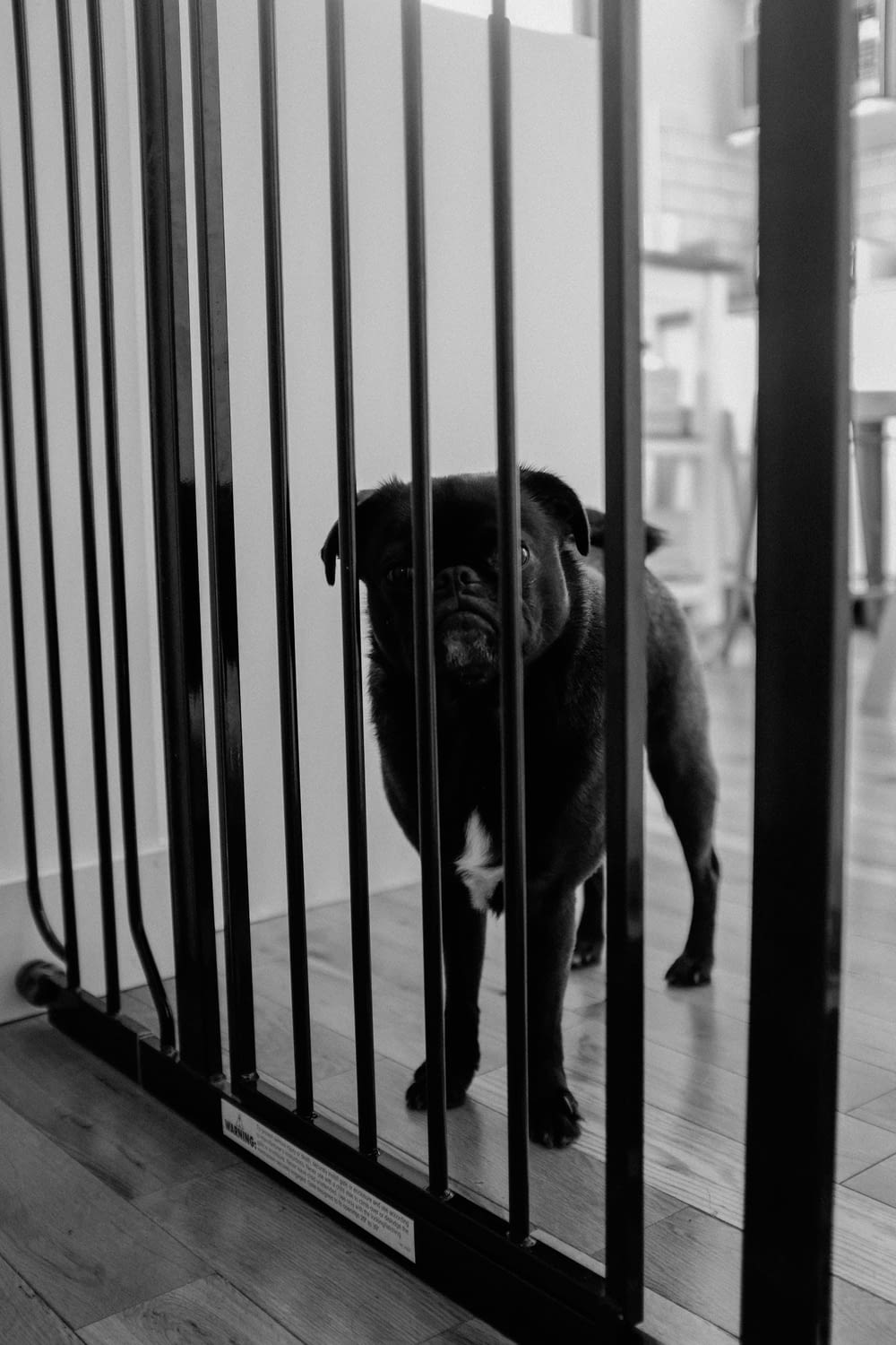 grayscale photography of short coated dog