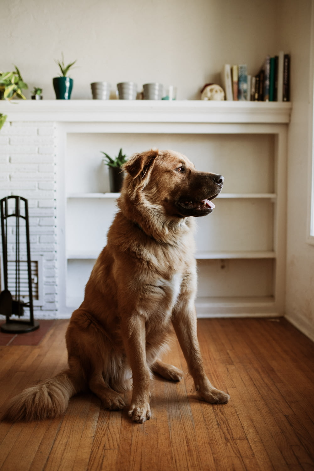 brown long coated dog sitting on brown wooden floor