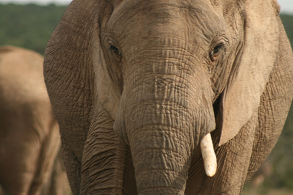 gray elephant in close up photography