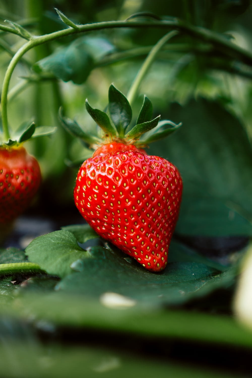 red strawberry fruit on green leaves