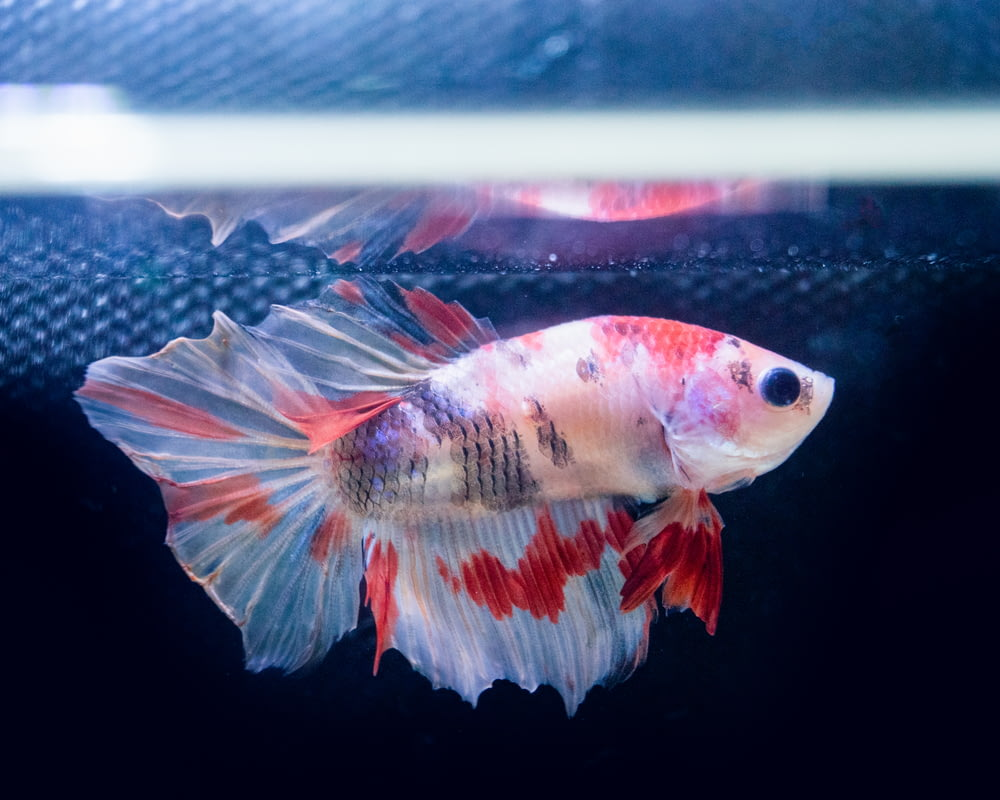 white and orange fish in water