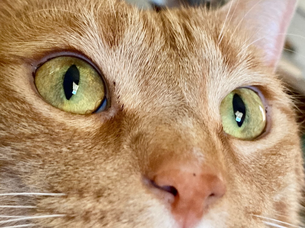 orange tabby cat with green eyes