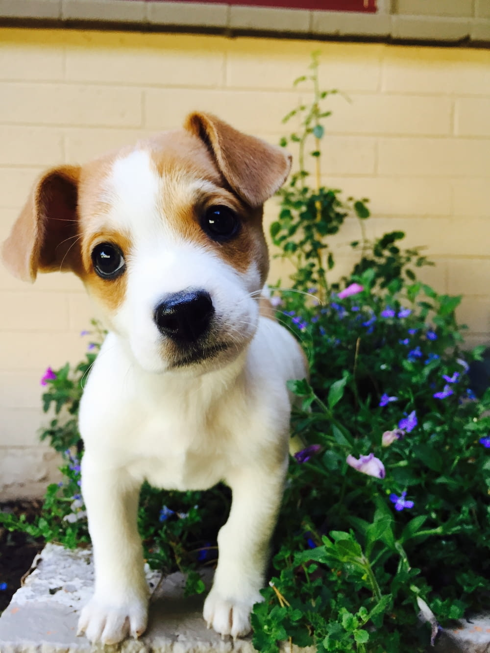 white and brown short coated puppy on green grass field