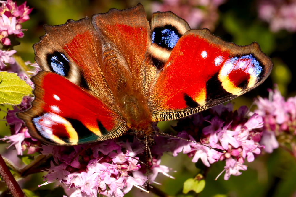 peacock butterfly perched on purple flower