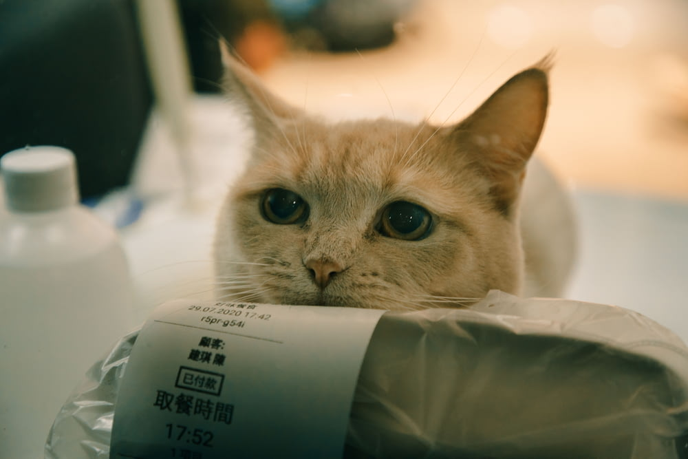 white and brown cat on white plastic bag