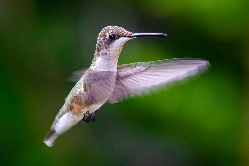 brown and green humming bird flying