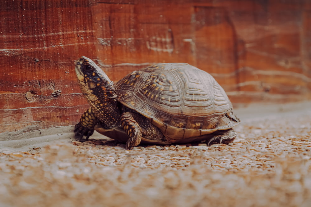 brown and black turtle on brown sand