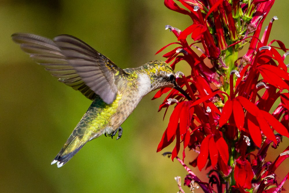 green and white humming bird flying near red flowers