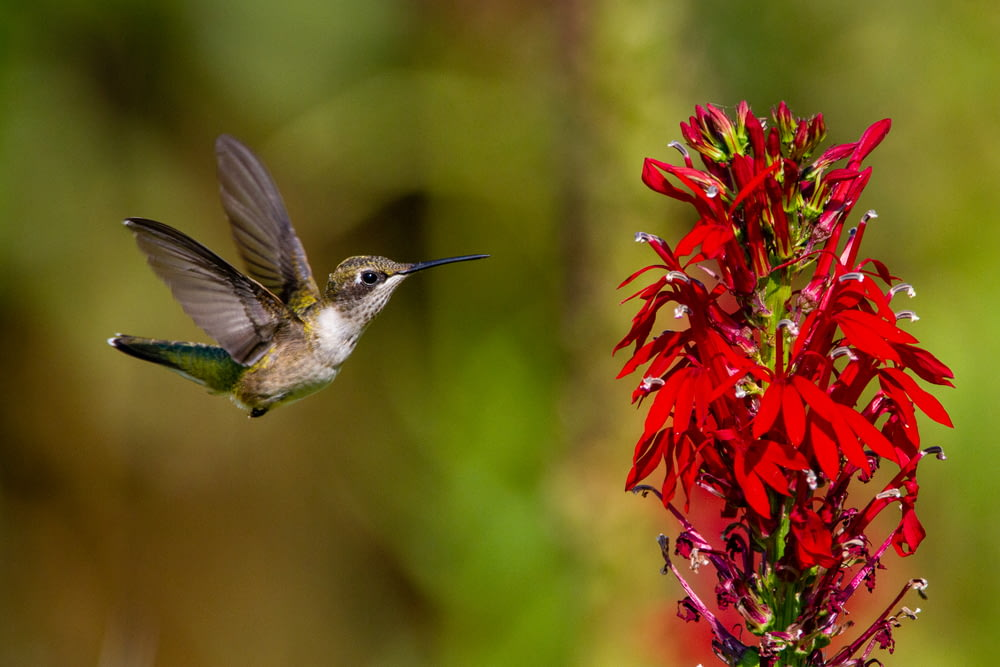 brown and white humming bird flying near red flowers